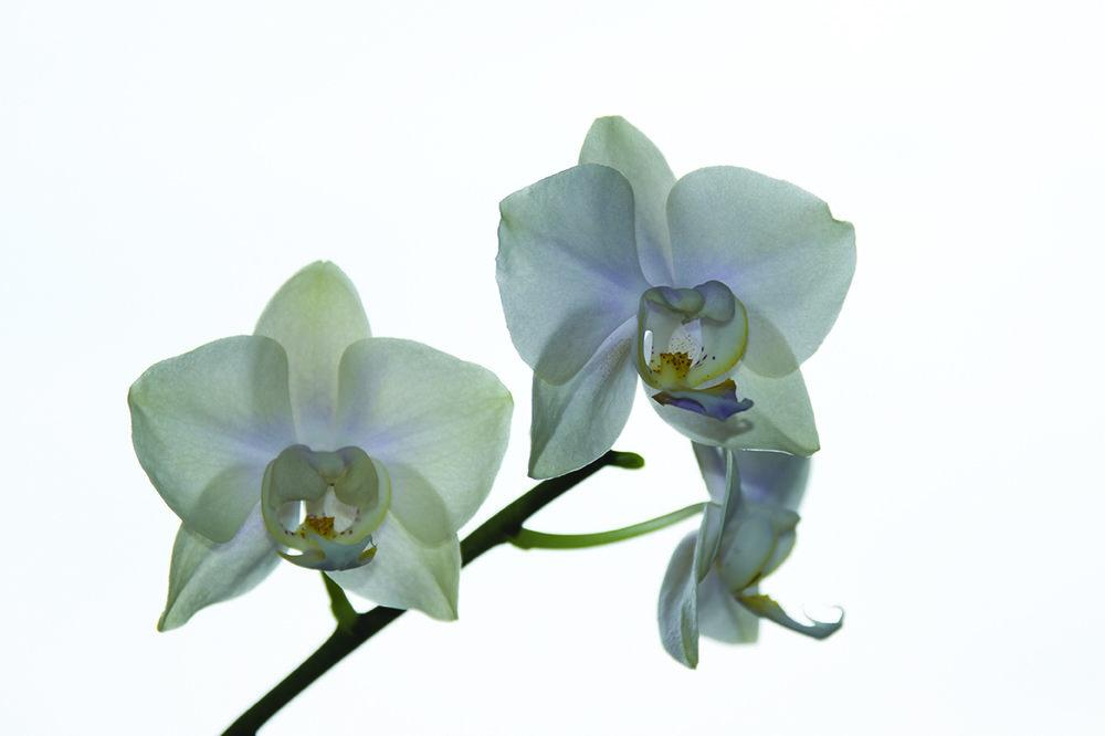 _DSorchidea.thumb.jpg.3dfc8c3eef5aa8ef18ff1635b4b43f5d.jpg