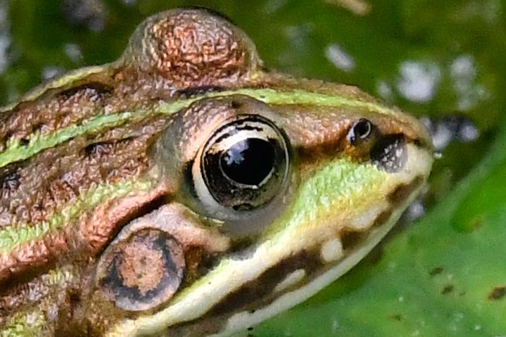 frog1crop.jpg.41c2fb5443993d40c7d503c37533e470.jpg