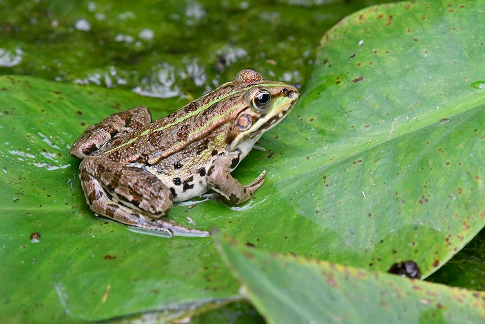 frog2.jpg.15cd98f1e770f0d60058781e48a74716.jpg