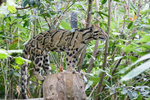 Leopardo Nebuloso 4