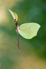 Gonepteryx Rhamni.jpg