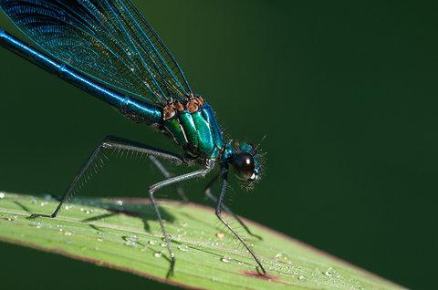 calopteryx.jpg