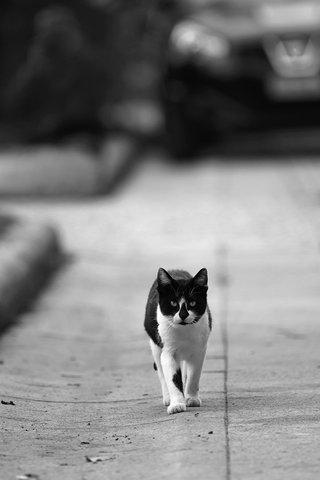 Io sono il gatto che cammina da solo