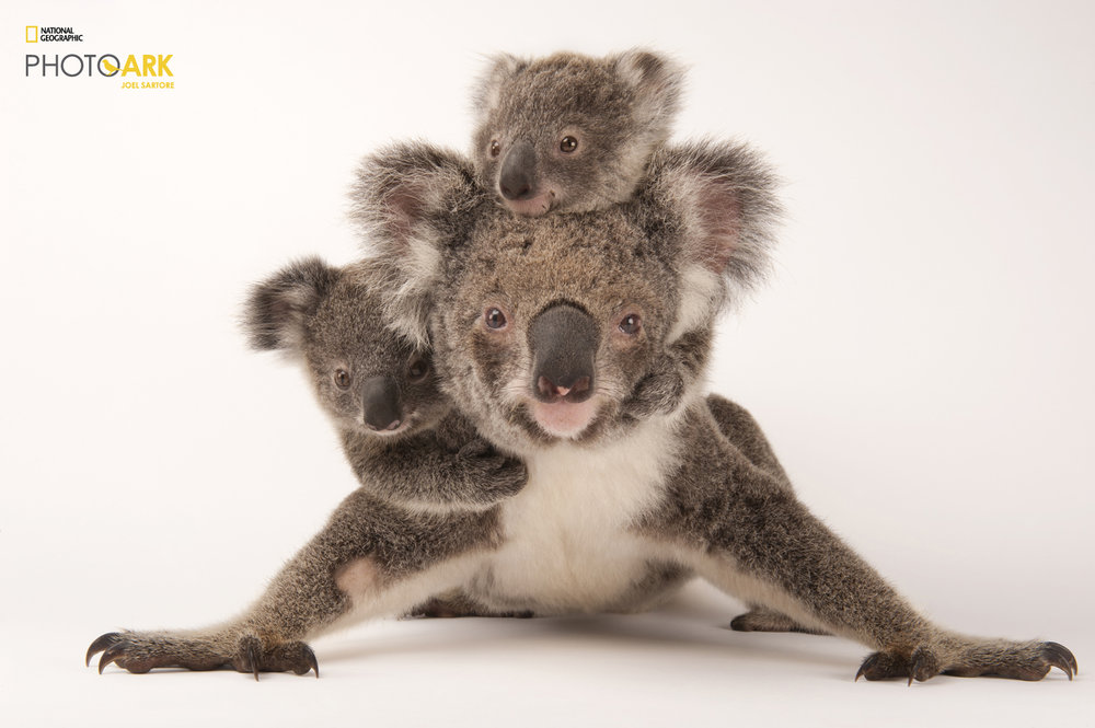 07_Koala_Phascolarctos-cinereus_Joel_Sartore_NationalGeographic_PhotoArk_11481509.thumb.jpg.26481a6ea06261b50f52bed4e8dc3858.jpg