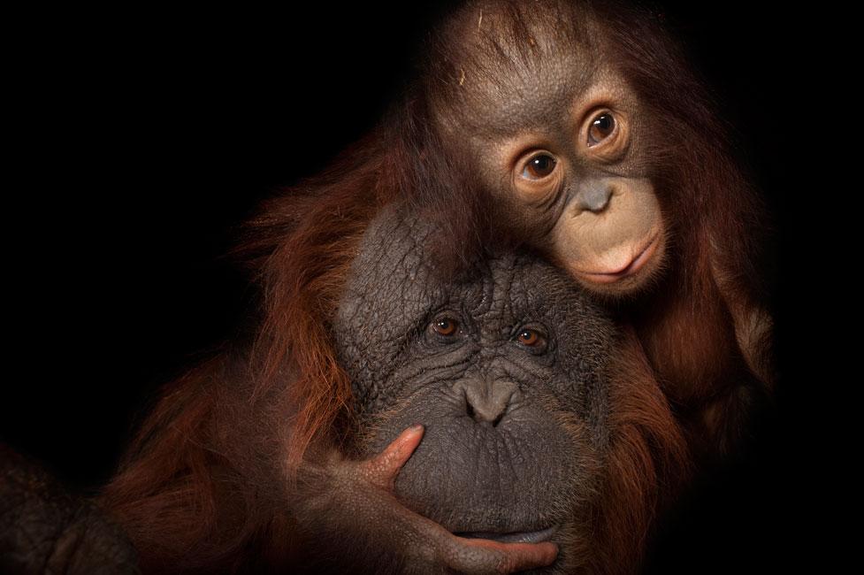 Nikon-Ambassador-Joel-Sartore-orangutans.jpg.429a00fa44735a25b6e20e822552faa6.jpg