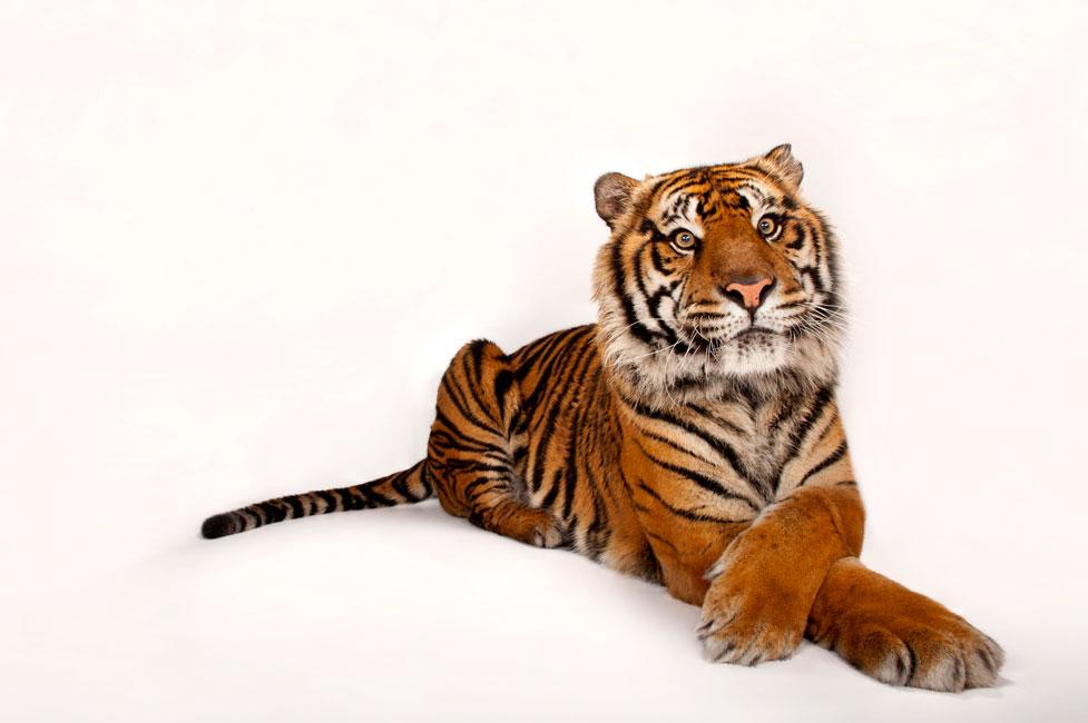 Nikon-Ambassador-Joel-Sartore-sumatran-tiger-portrait.jpg.a8c4b77cb327da475c83148d5546aa6c.jpg