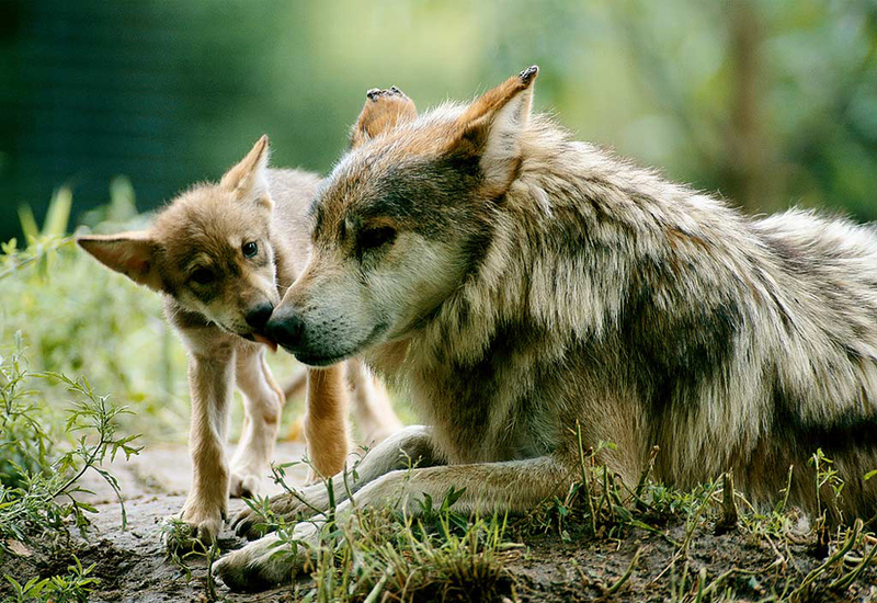 content_c1-Image-by-Joel-Sartore-Mother-wolf-and-her-cub.jpg.bf08edf231f8073cfdd540f4c1f57ca8.jpg
