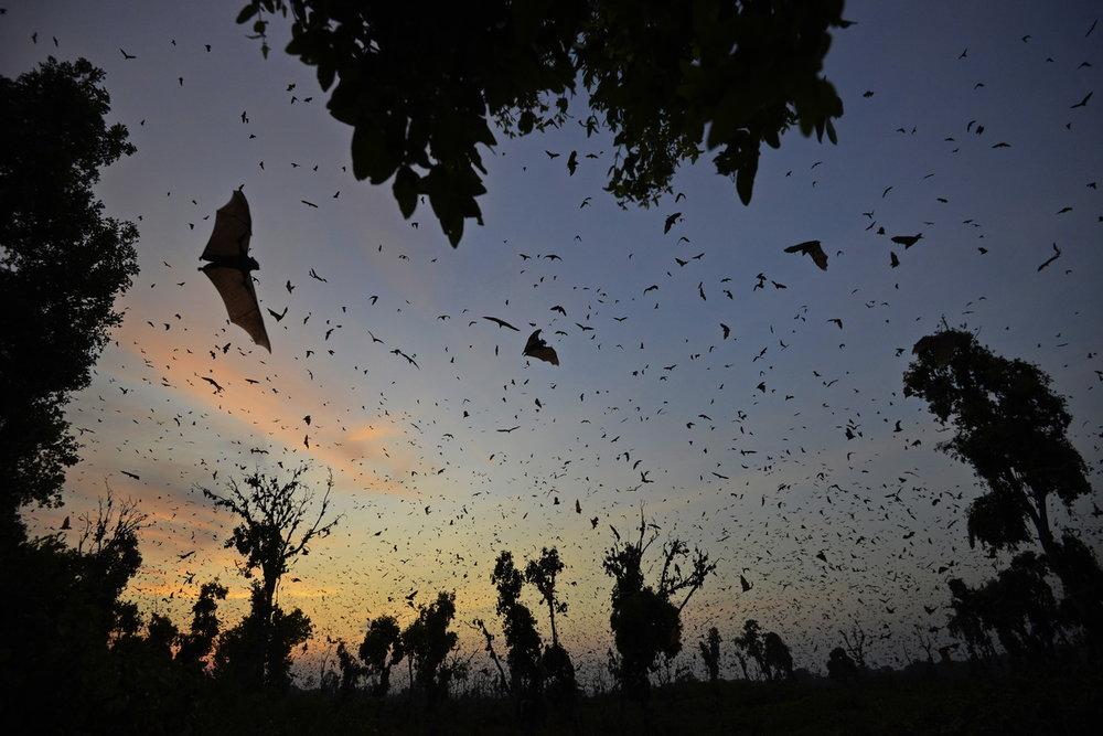 Zambia_bats_02.thumb.jpg.3453cac368207905a93c2d2fa2bbfb33.jpg