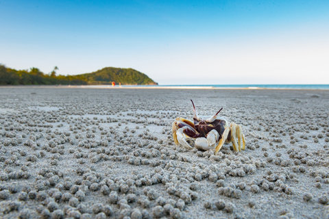 Crab - Cape Tribulation