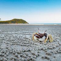 Crab - Cape Tribulation
