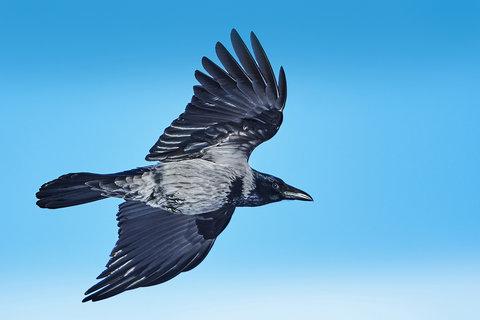 Corvus cornix.jpg