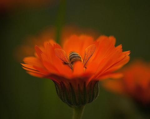 Su fiore di Calendula