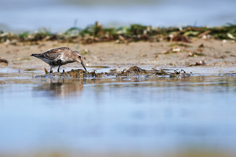 Calidris alpina.jpg