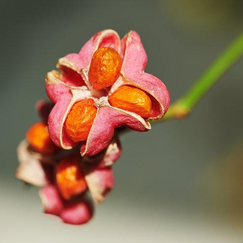 Euonymus-europaeus.jpg