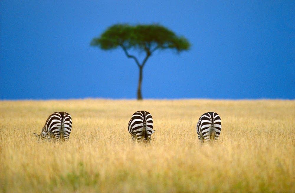 1ef323-20090319-zebra.jpg.d463152be556ab713791b6572c36b262.jpg