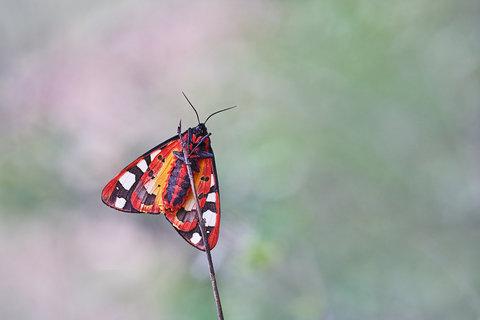 Arctia-villica.jpg