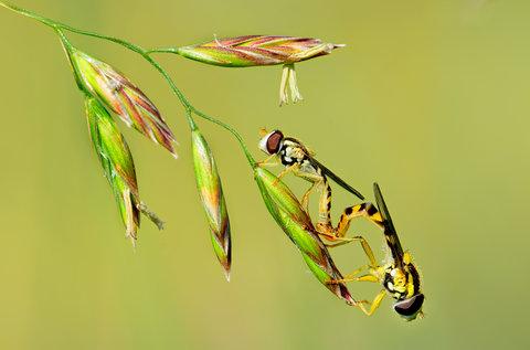 Episyrphus balteatus (accoppiamento)