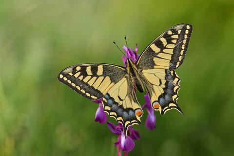 Papilio-machaon_26.jpg