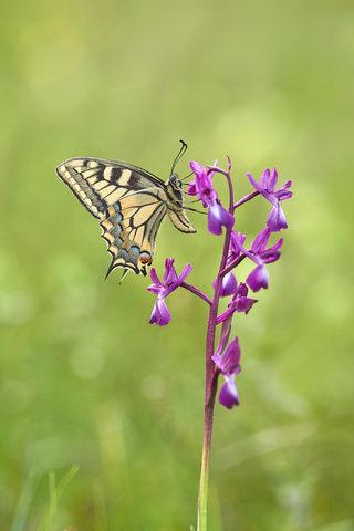 Papilio-machaon_28.jpg