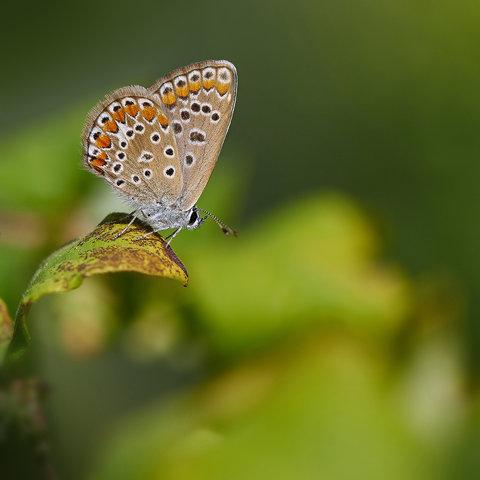 Polyommatus-icarus-II.jpg