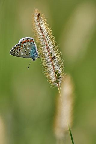 Polyommatus-icarus_2.jpg