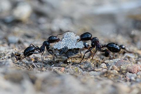Formiche comuni