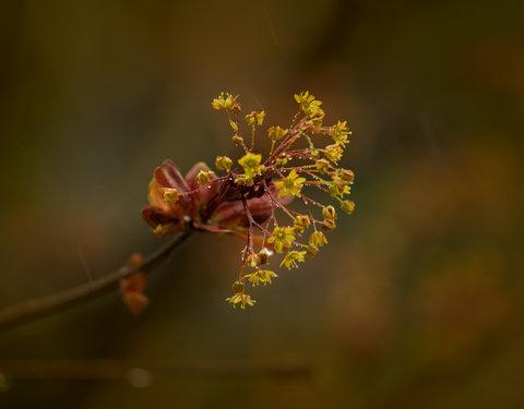 Fiore di Acero