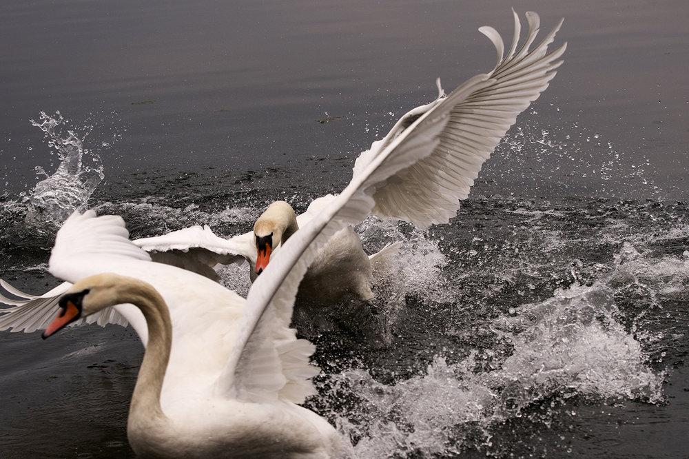 swan3.thumb.jpg.a088fff5cd2766e30a60fbd91ee5d78f.jpg