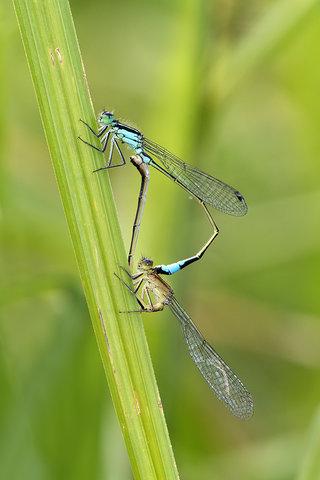 Ischnura elegans.jpg