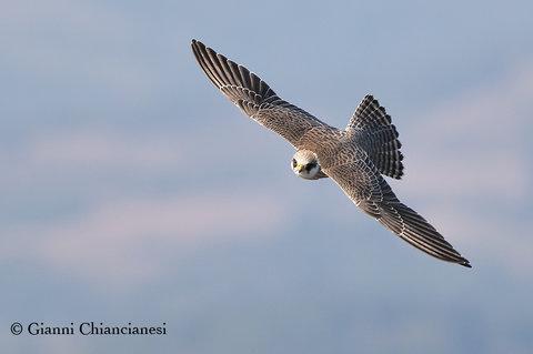Falco Cuculo...