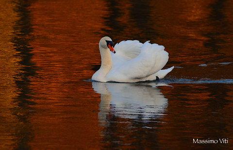 DSC_0409 2.JPG  Ultima luce del giorno Cigno reale fiume Adda ( Lombardia )