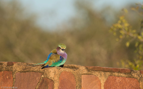 Lilac -breasted Roller