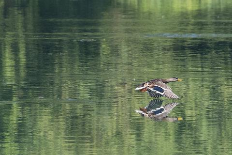 duckfly.jpg