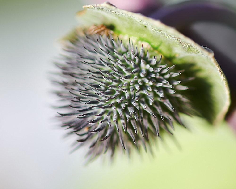 Fruit of Datura stramonium.jpg