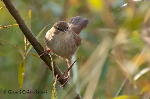 Usignolo di fiume...un uccelletto dal verso scoppiettante....