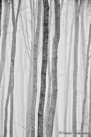 Impressioni, bosco di Faggi nella nebbia....