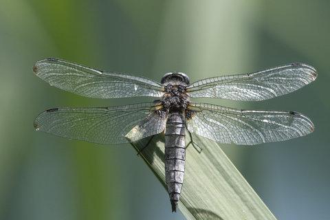 Vecchia libellula