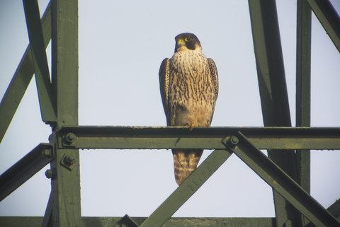 Falco Pellegrino immaturo....