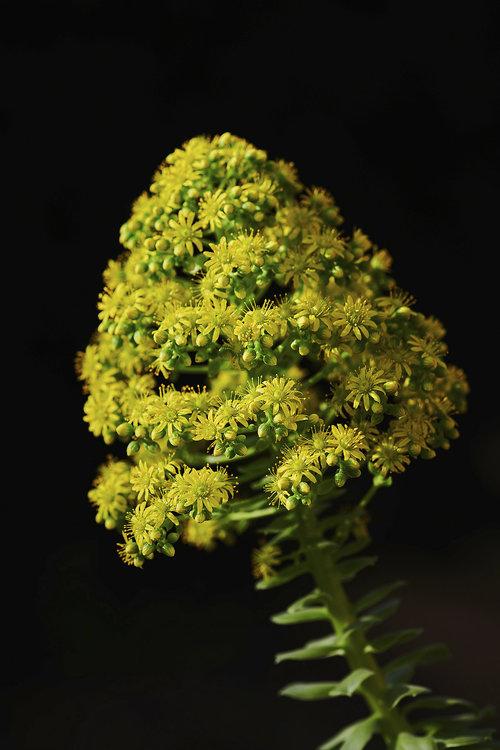 Aeonium-arboreum.jpg