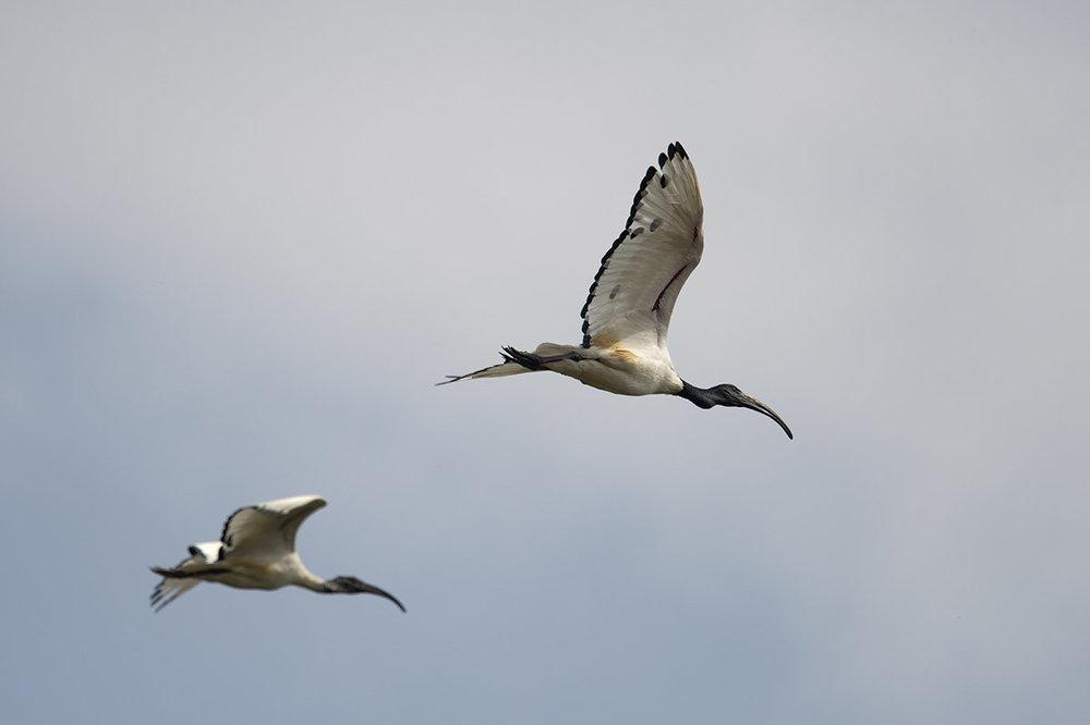 ibis4.thumb.jpg.3cdff606a49bf7053313307df36b4026.jpg