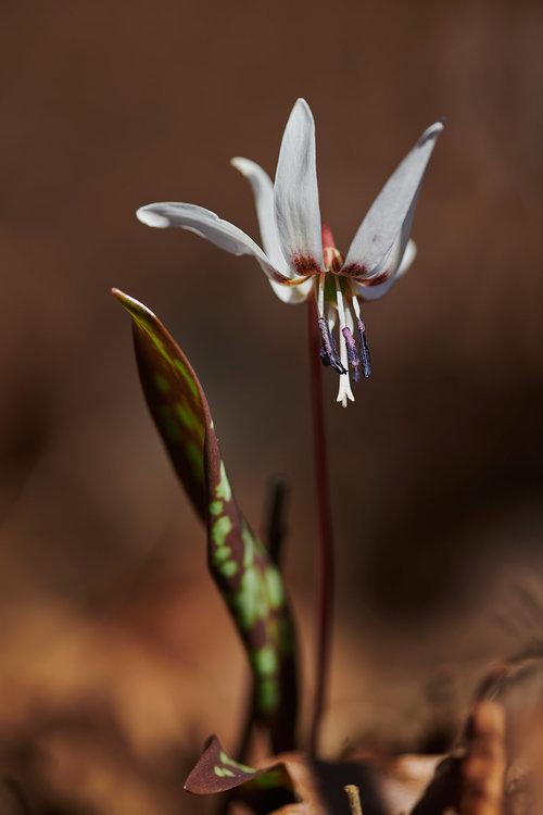 Erythronium dens-canis.jpg