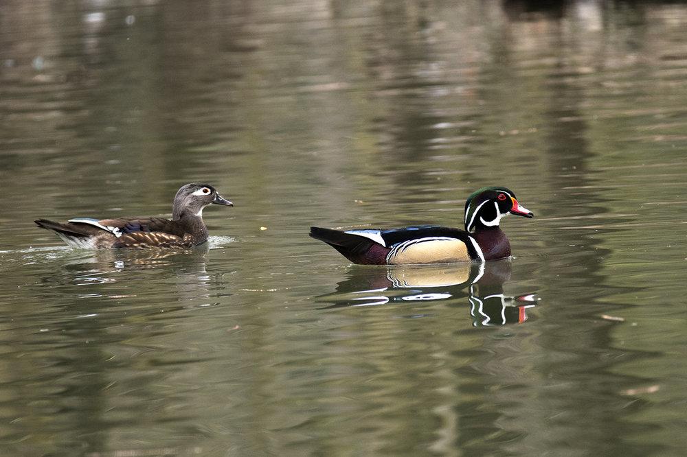 duck.thumb.jpg.f46d7472b8df68391badae08b86bd7a9.jpg