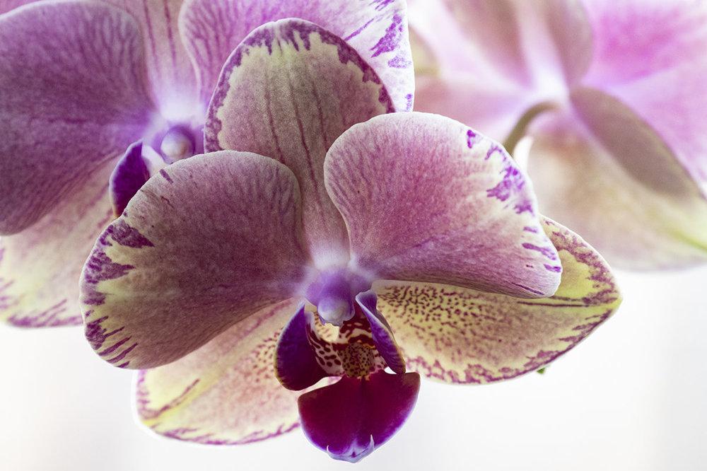 orchid.thumb.jpg.97be9abd3f7266fc21715033e9b34159.jpg