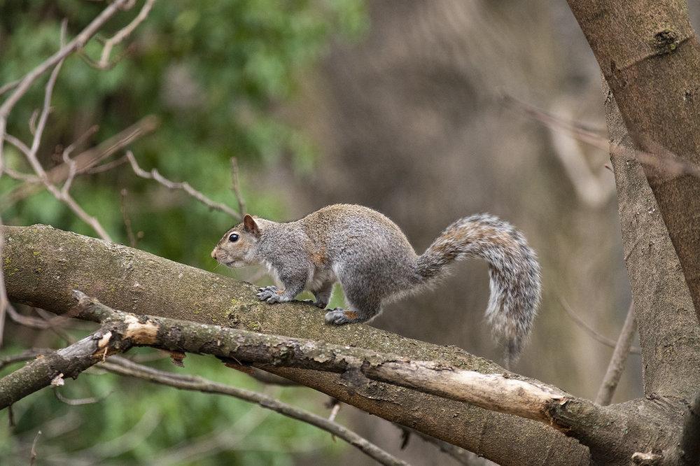 squirrell.thumb.jpg.ada488f45b7a6136c40b0d2118b1e347.jpg