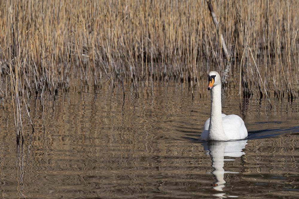 swan.thumb.jpg.09ff61755410eb9c7c330f85f5880579.jpg