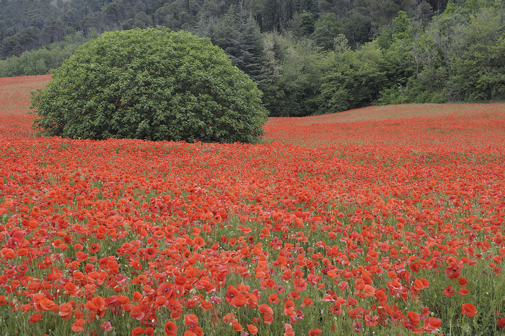 Poppies_Small.jpg