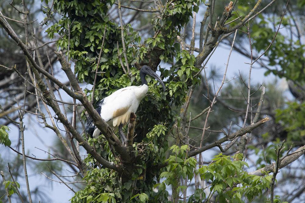 ibis.thumb.jpg.033ec175b533e14e18b38b992f9fe0fa.jpg