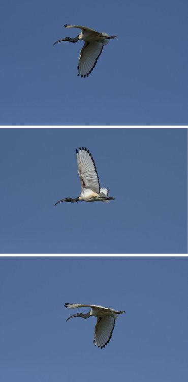 wingbeat.thumb.jpg.e087aac95928295c4af215d32761bacd.jpg