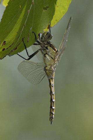 Ortethrum cancellatum maschio immaturo