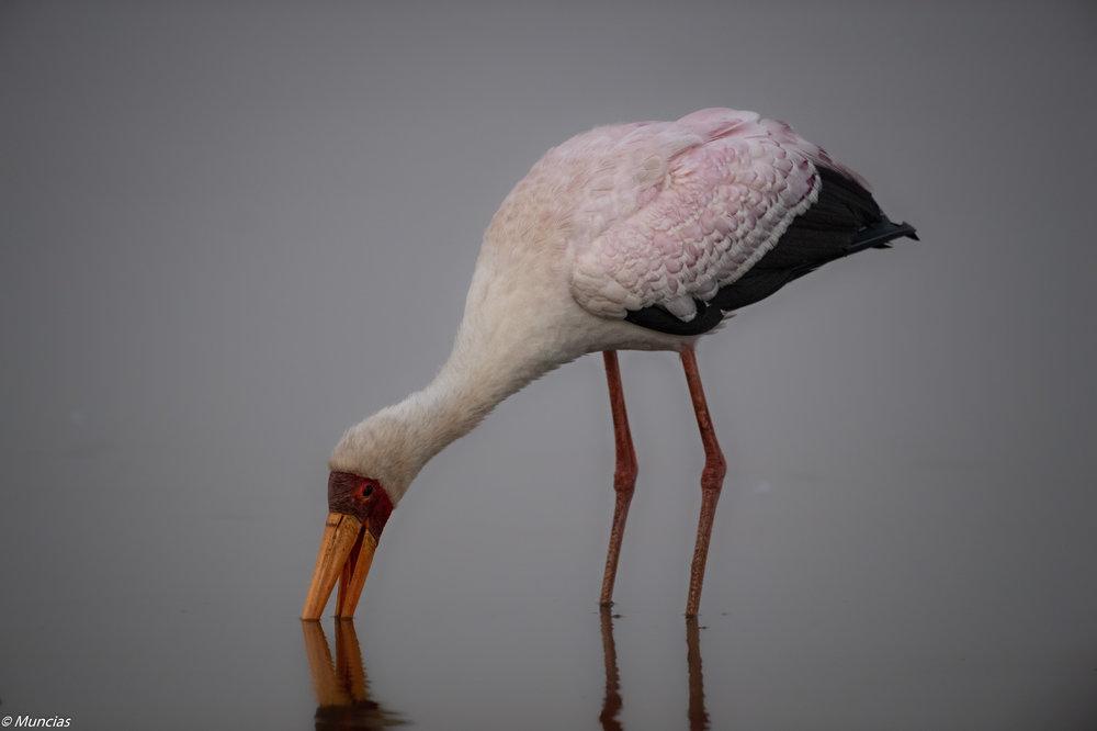 Yellow-billed Stork 2.jpg